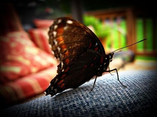 butterflyIMG_6911