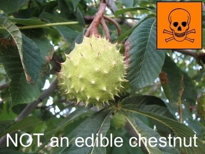Horse Chestnut NOT edible