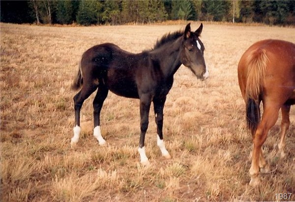 Jacks Smoky Charger weanling